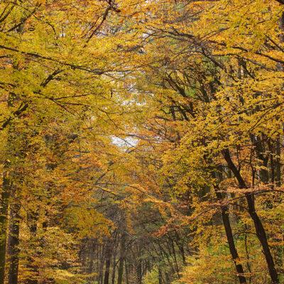 Żółte, jesienne liście na drzewach