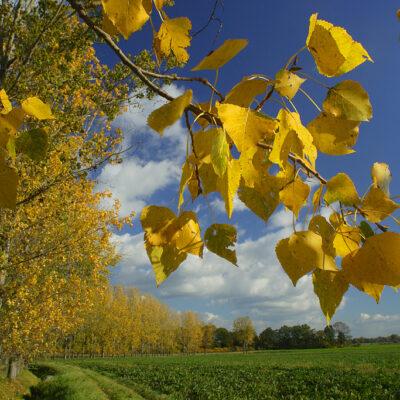 Żółte liście na drzewie i pole