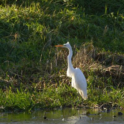 Biała czapla stojąca nad wodą