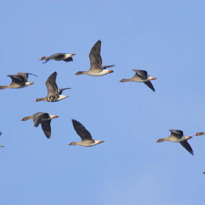 Ptaki lecące na tle niebieskiego nieba