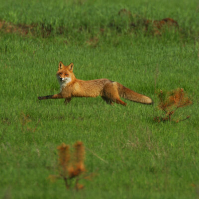 Lis biegnący na polu