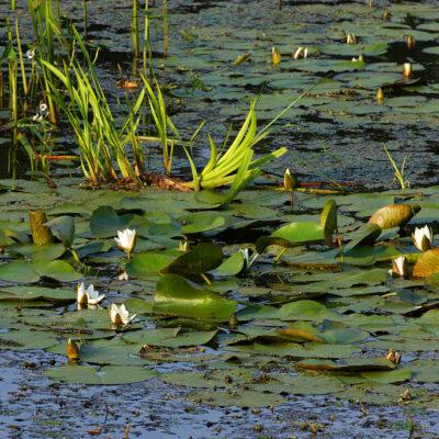 Wyjątkowe miejscowa roślinność wodna-lilie wodne