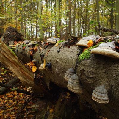 Pień drzewa porośnięty hubami