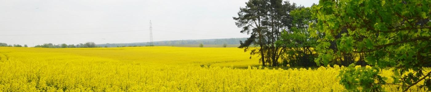 widok na żółte pola rzepaku