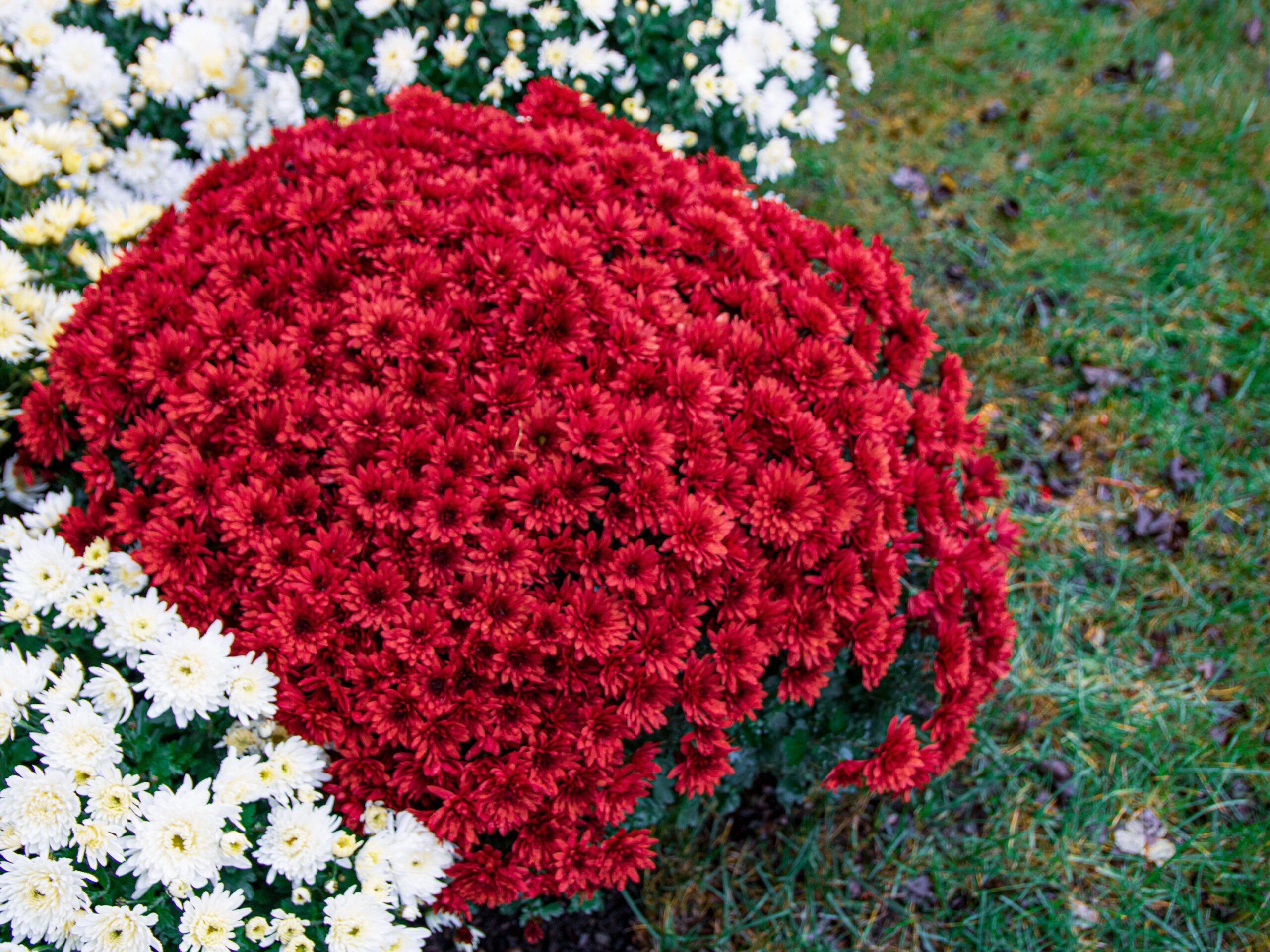 Czerwone chryzantemy odkupione przez Gminę