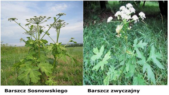 Barszcz Sosnowskiego i barszcz zwyczajny.